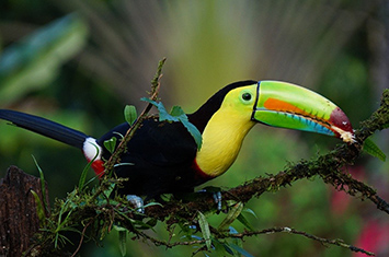 Toucan in Cloudforest