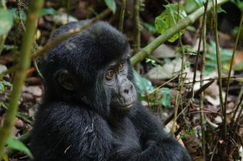 uganda travel gorilla