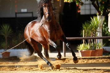 spain horse