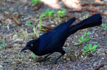 cuba black bird
