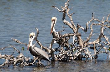 cuba pelicans