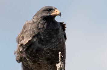 cuba eagle