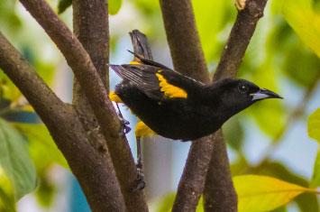 cuba bird