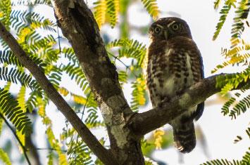 cuba owl