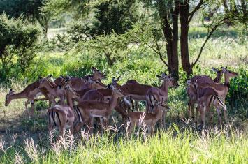 gazelle tanzania