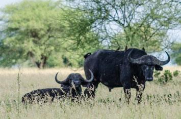 buffaloes tanzania