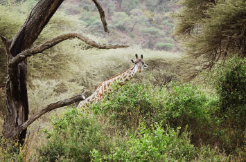 manyara giraffe