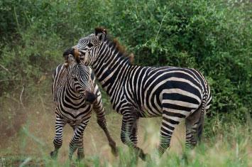 zebras serengeti