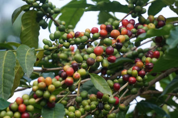 coffee plantation rwanda