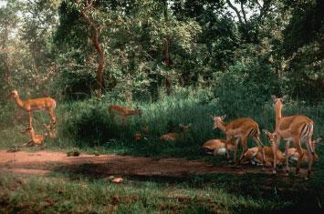 akagera gazelle
