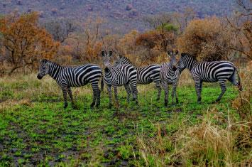zebra akagera