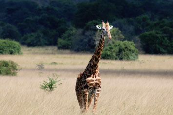 giraffe akagera