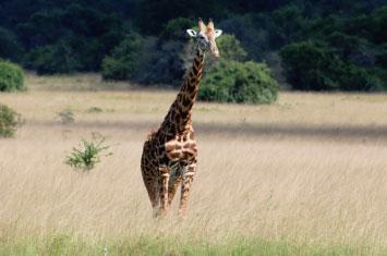 giraffe rwanda