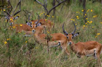 rwanda animal